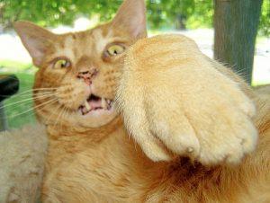 Gato raro
